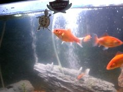 my baby turtles swimming in fish tank with goldfish