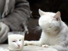 Cat looks at milk