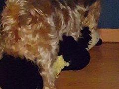 Dog in calduri